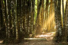 Forêt de bambou géant image stock