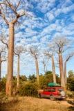Forêt de baobabs - Madagascar images libres de droits