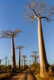 Forêt de baobabs - Madagascar photographie stock
