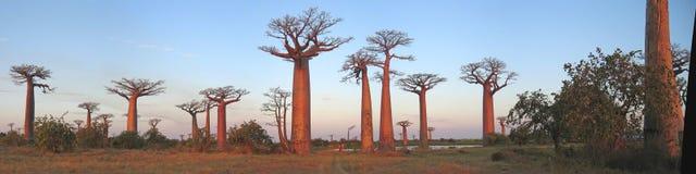 Forêt de baobabs, ruelle de baobab image libre de droits