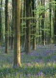 Forêt de Bluebell (non-scripta de Hyacinthoides) Image stock