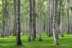 Forêt de bouleau Photographie stock libre de droits