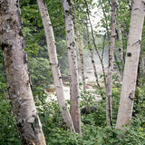 Forêt de bouleau Image libre de droits