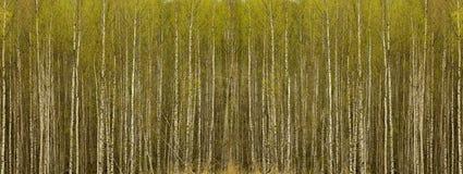 Forêt de bouleau Images stock