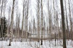 Forêt de bouleau Photos stock