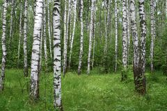 Forêt de bouleau Photo libre de droits