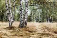 Forêt de bouleau Photographie stock