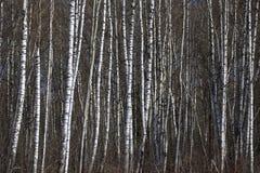 Forêt de bouleau au printemps Images libres de droits
