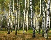Forêt de bouleau au soleil de soirée Images stock