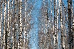 Forêt de bouleau avec les branches chauves sans feuilles dans les WI russes Photographie stock
