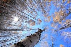 Forêt de bouleau blanc Photographie stock libre de droits