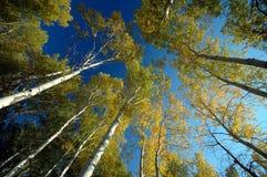 Forêt de bouleau blanc Photos stock