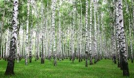 Forêt de bouleau d'été images libres de droits