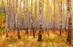 Forêt de bouleau d'automne Photographie stock libre de droits