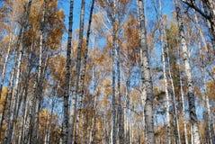 Forêt de bouleau d'automne Photos stock