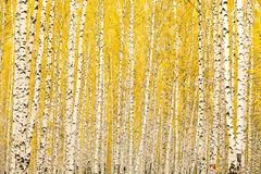 Forêt de bouleau d'automne Photo stock