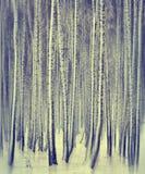 Forêt de bouleau d'hiver Photos stock