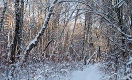 Forêt de bouleau dans le jour d'hiver Photos stock