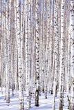 Forêt de bouleau de l'hiver Photos stock