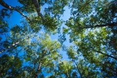 Forêt de bouleau de Sunny Summer Photos libres de droits