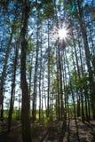 Forêt de bouleau de Sunny Summer Images stock