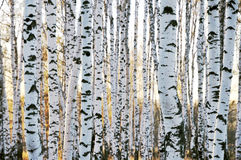 Forêt de bouleau en automne Photographie stock