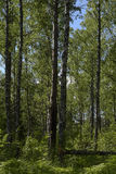 Forêt de bouleau en début de l'été Photo libre de droits