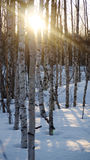 Forêt de bouleau en hiver photographie stock