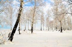 Forêt de bouleau en hiver Photo stock