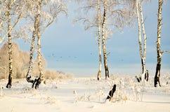 Forêt de bouleau en hiver les oiseaux de vol de fond Images stock
