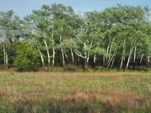 Forêt de bouleau de ressort, jeunes verts lumineux sur les branches blanches, jour ensoleillé lumineux Photo stock