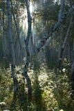 Forêt de bouleau tôt le matin. Image libre de droits