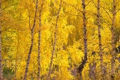 Forêt de bouleaux jaunes d'automne Photographie stock