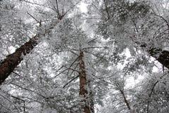 Forêt de cèdre Photos libres de droits