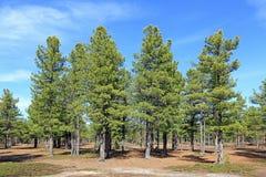 Forêt de cèdre images libres de droits