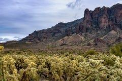 Forêt de cactus de Cholla photos libres de droits