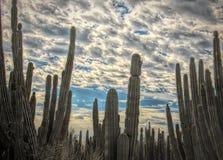 Forêt de cactus de Saguaro avec le nid de Gila Woodpecker @ images stock