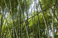 Forêt de cannes en bambou Photographie stock