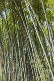 Forêt de cannes en bambou Images libres de droits