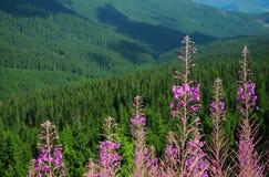 Forêt de Carpathiens Image libre de droits