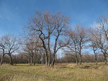 Forêt de chêne. Photos stock