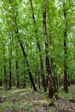 Forêt de chêne Images libres de droits