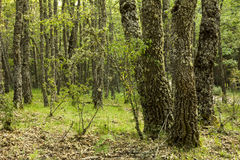 Forêt de chêne image stock