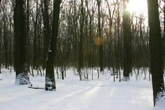 Forêt de chêne de l'hiver Photographie stock libre de droits