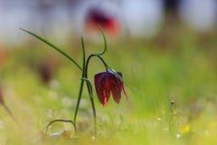 Forêt de chêne de meleagris de Fritillaria (fleur d'échecs) Photographie stock libre de droits