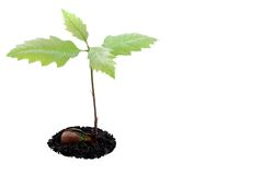 Forêt de chêne rouge grandissant Image stock