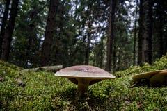 Forêt de champignon en automne Image stock