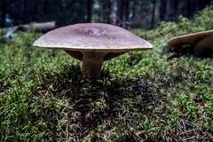 Forêt de champignon en automne Images stock