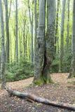 Forêt de charme Photo stock
