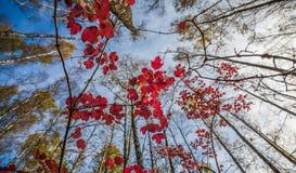 Forêt de chute Images libres de droits